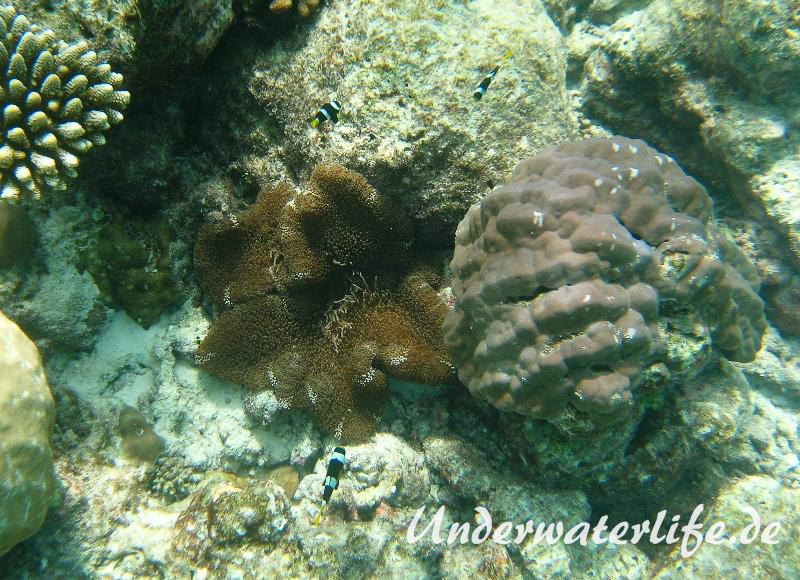 Clarks-Anemonenfisch_adult-Malediven-2013-16