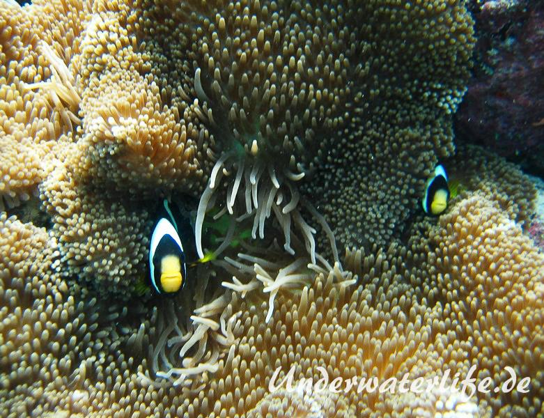 Clarks-Anemonenfisch_adult-Malediven-2013-17
