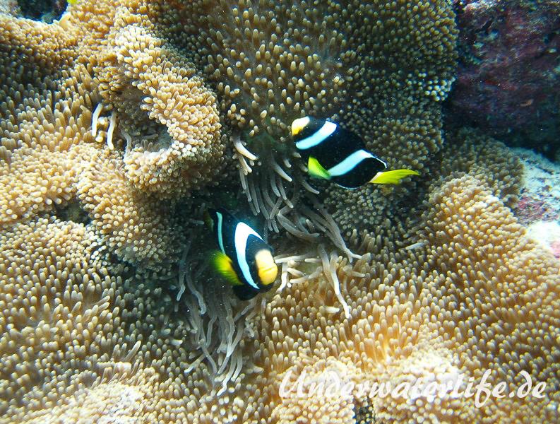 Clarks-Anemonenfisch_adult-Malediven-2013-18