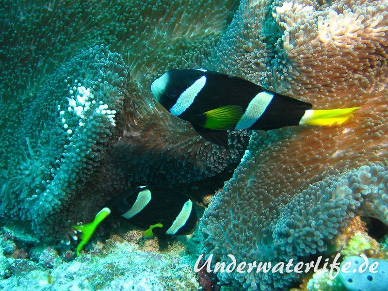 Clarks-Anemonenfisch_adult-Malediven-2013-20