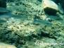 Dicklippige Meeräsche (Chelon labrosus)