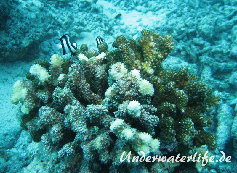 Drei-Binden-Preussenfische_adult-Malediven-2013-03