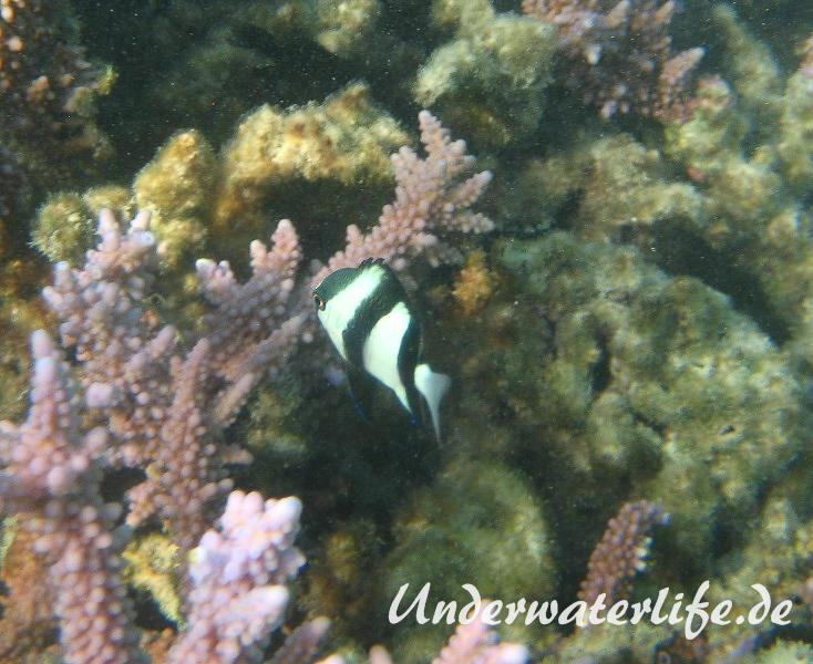Dreibinden-Preussenfisch_adult-Marsa alam-2012-2