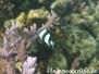 Dreibinden-Preußenfisch (Dascyllus aruanus)