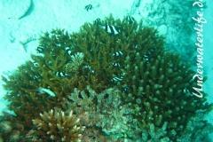 Drei-Binden-Preussenfische_adult-Malediven-2013-01