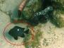 Dreifleck-Preußenfisch (Dascyllus trimaculatus)