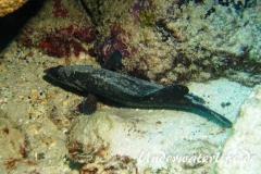 Dreistacheliger Seifenfisch_adult-Karibik-2014-02
