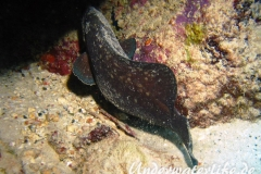 Dreistacheliger Seifenfisch_adult-Karibik-2014-04
