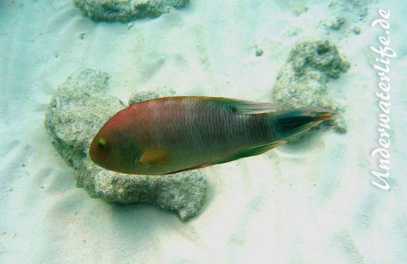 Dreizack-Prachtlippfisch_adult-Malediven-2013-01