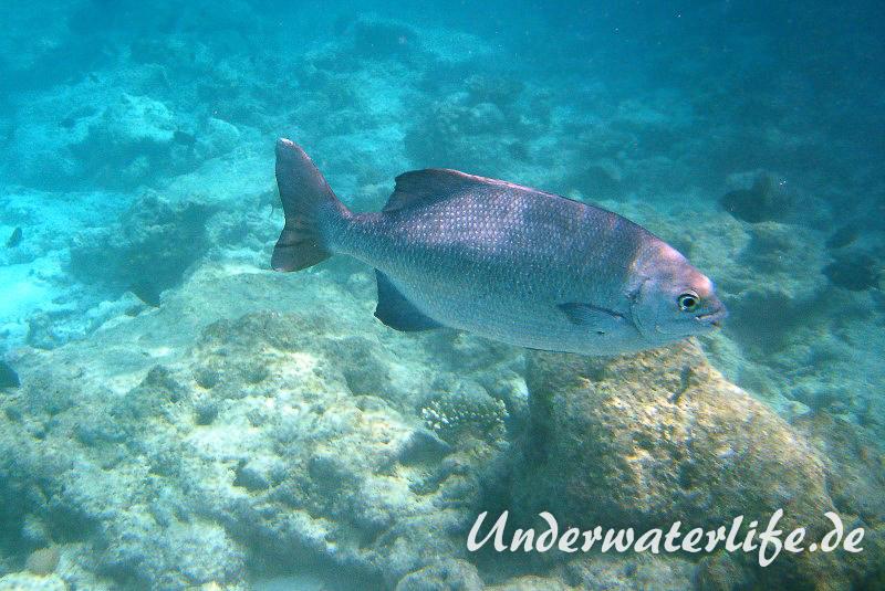 Dunkler-Ruderbarsch_adult-Malediven-2013-01