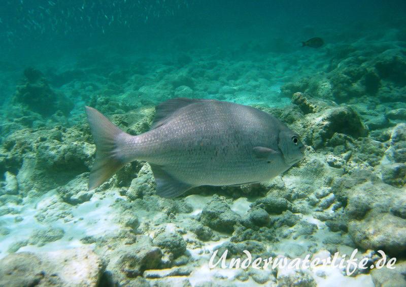 Dunkler-Ruderbarsch_adult-Malediven-2013-02