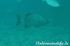 Dunkler-Ruderbarsch_adult-Malediven-2013-03