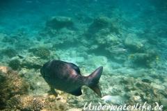 Dunkler-Ruderbarsch_adult-Malediven-2013-04