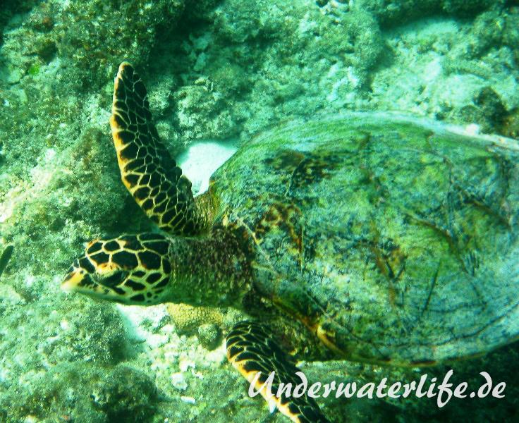 Echte Karettschildkroete_adult-Malediven-2013-001