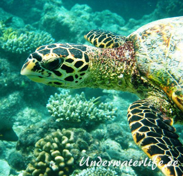 Echte Karettschildkroete_adult-Malediven-2013-003