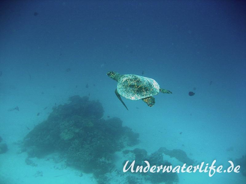 Echte Karettschildkroete_adult-Malediven-2013-007
