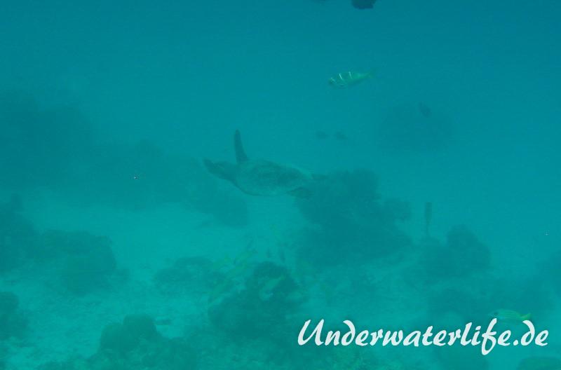 Echte Karettschildkroete_adult-Malediven-2013-008