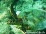 Indik Meeresschildkröten-Cheloniidae-Turtles