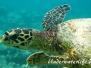 Echte Karettschildkröte (Eretmochelys imbricata) Indik
