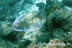 Echte Karettschildkroete_adult-Malediven-2013-004