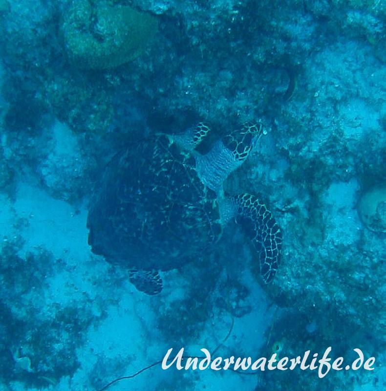 Echte Karettschildkroete_adult-Karibik-2014-001