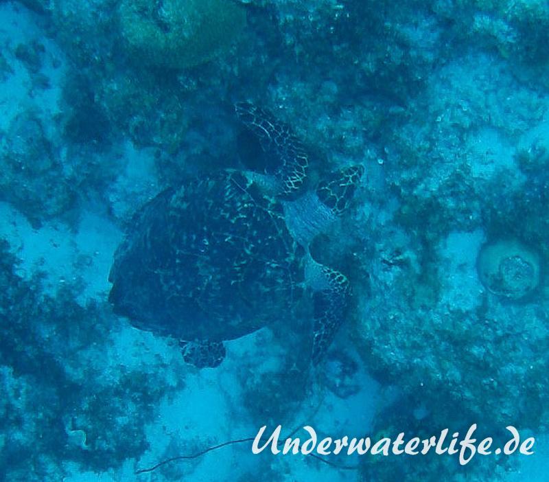 Echte Karettschildkroete_adult-Karibik-2014-002
