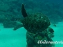 Echte Karettschildkröte (Eretmochelys imbricata) Karibik