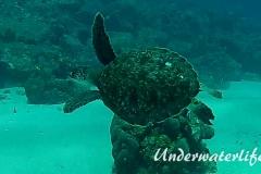 Echte Karettschildkröte_subadult-Karibik-2014-001