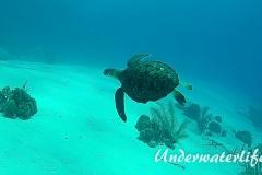 Echte Karettschildkröte_subadult-Karibik-2014-002