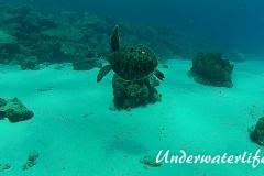 Echte Karettschildkröte_subadult-Karibik-2014-003