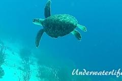 Echte Karettschildkröte_subadult-Karibik-2014-004