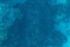Echte Karettschildkroete_adult-Karibik-2014-003