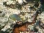 Einfleck-Demoiselle (Chrysiptera unimaculata)