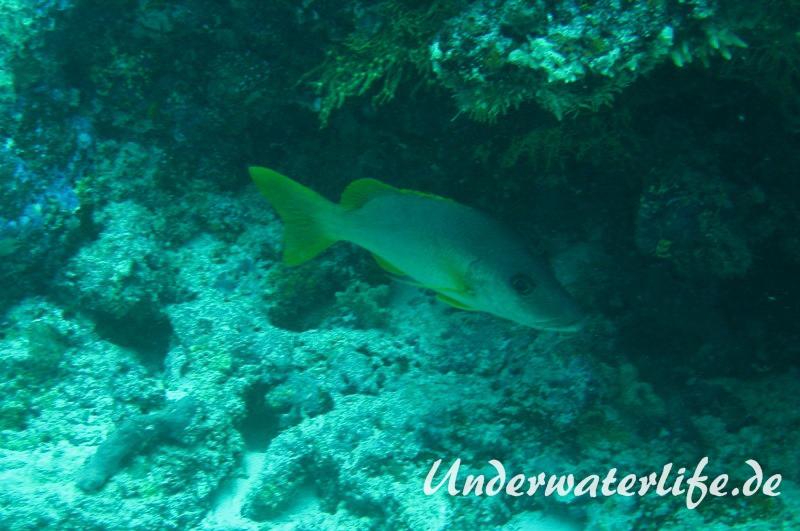 Einfleck-Schnapper_adult-Malediven-2013-01
