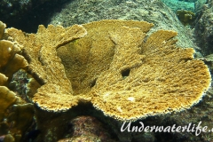 Elchgeweihkoralle_Acropora palmata_adult-Karibik-2014-001