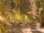 Europa Süßwasser Hechtartigen-Esociformes-pikes and mudminnows