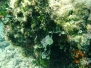 Mittelmeer Grünalgen-Chlorobionta-green algae