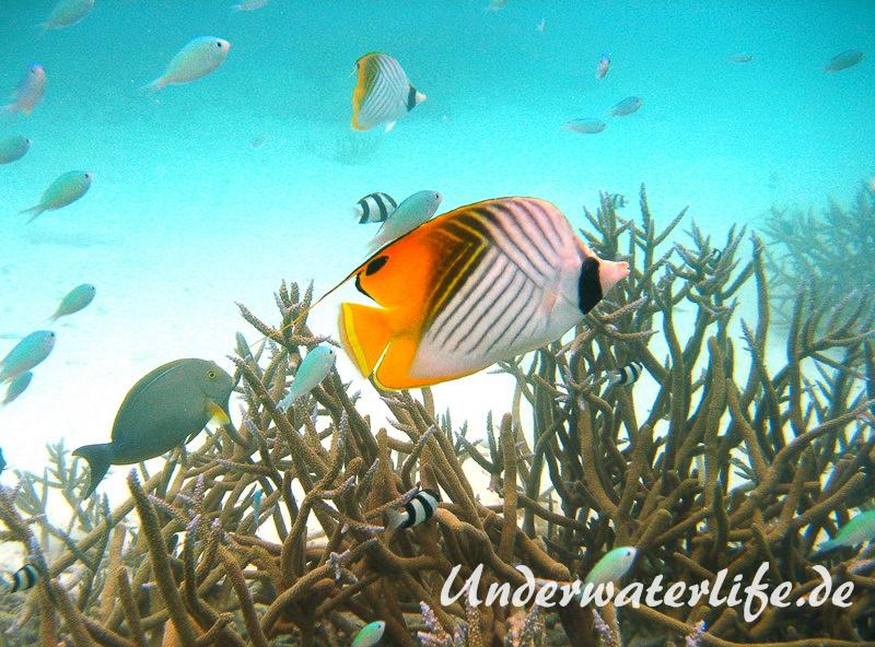 Faehnchen-Falterfisch_adult-Malediven-2013-02