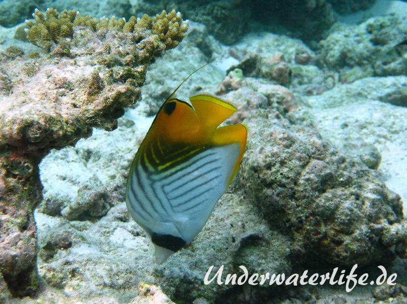 Faehnchen-Falterfisch_adult-Malediven-2013-03