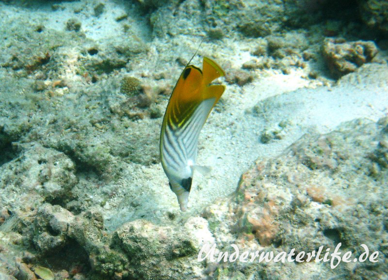 Faehnchen-Falterfisch_adult-Malediven-2013-07