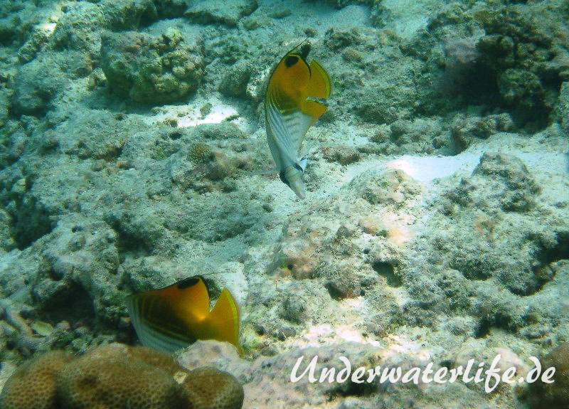 Faehnchen-Falterfisch_adult-Malediven-2013-08