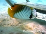 Indik Falterfische-Chaetodontidae-Butterflyfishes