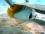 Fähnchen-Falterfisch (Chaetodon auriga)