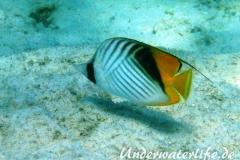 Fähnchen-Falterfisch_adult-Marsa alam-2012-1