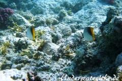 Fähnchen-Falterfisch_adult-Marsa alam-2012-2