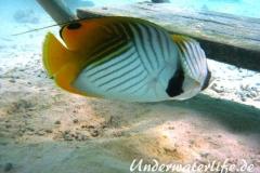 Faehnchen-Falterfisch_adult-Malediven-2013-01