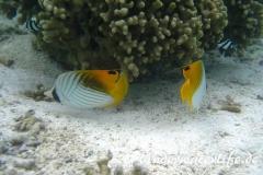 Faehnchen-Falterfisch_adult-Malediven-2013-04