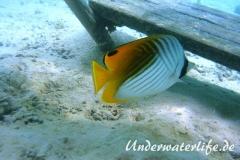 Faehnchen-Falterfisch_adult-Malediven-2013-05