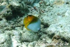 Faehnchen-Falterfisch_adult-Malediven-2013-06
