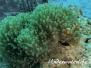 Falscher Clownfisch (Amphiprion ocellaris) Indopazifik